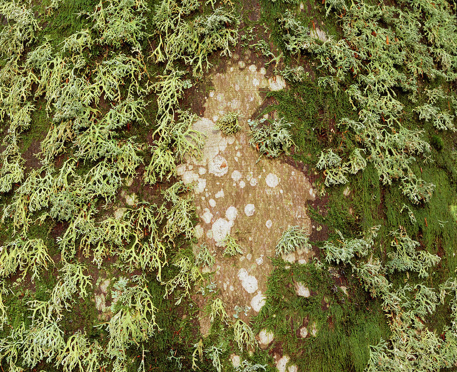 Lichen Photograph - Lichen And Moss On Beech Tree by Simon Fraser/science Photo Library