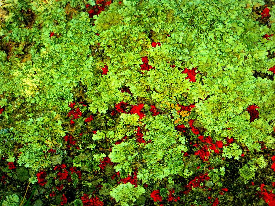Forest Photograph - Lichen by Bob Beardsley