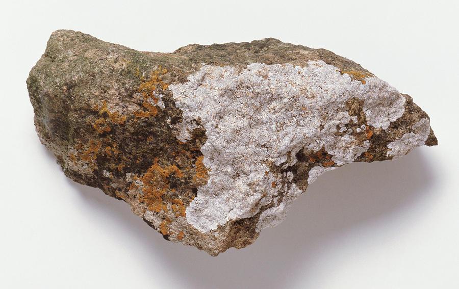 Fungi Photograph - Lichen On Rock by Dorling Kindersley/uig