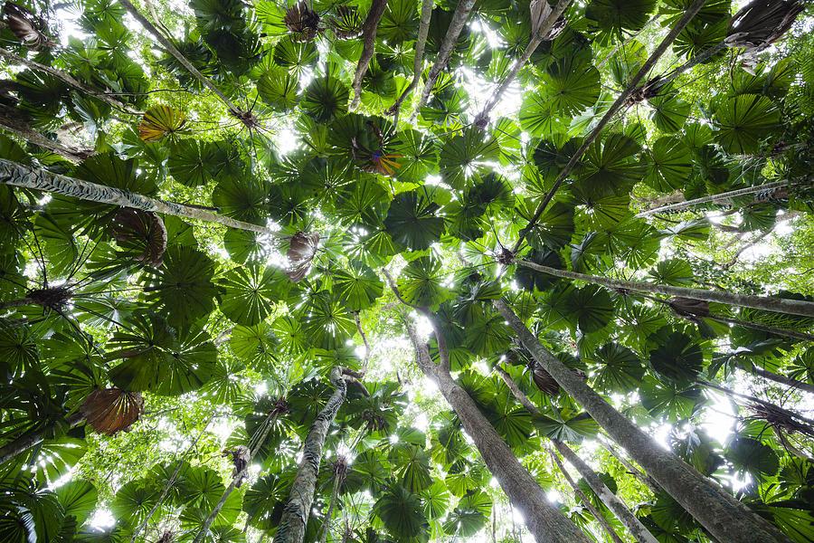 Licuala Fan Palm Canopy Daintree Np Photograph by Konrad Wothe