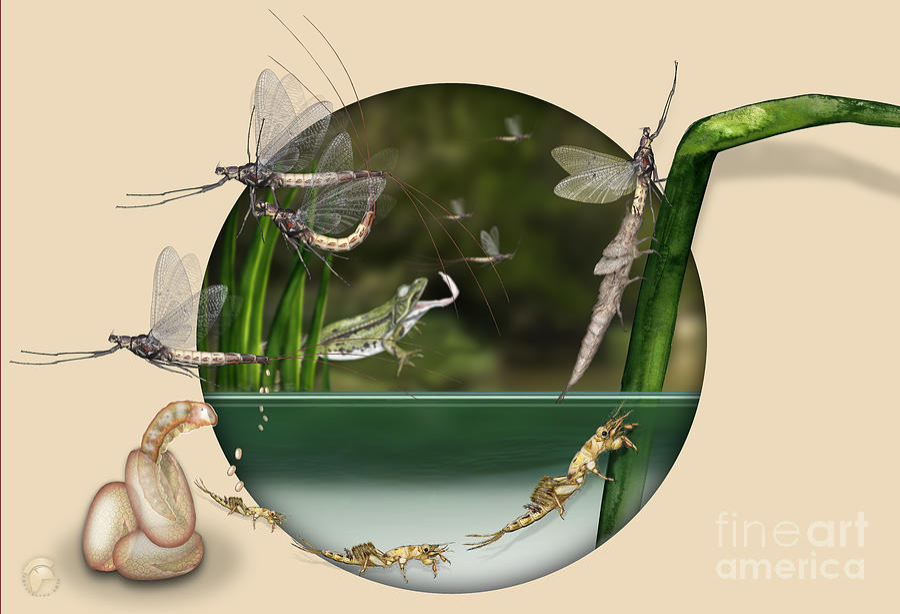 Life Cycle Of Mayfly Ephemera Danica - Mouche De Mai - Zyklus Eintagsfliege - Stock Illustration - Stock Image Painting