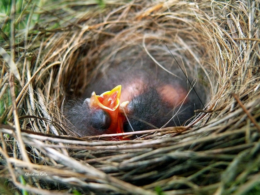 Birds Nest Photograph - Life In The Nest by Christina Rollo