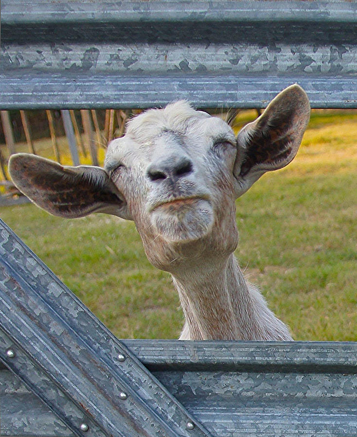 Goat Photograph - Life Is Good by EG Kight