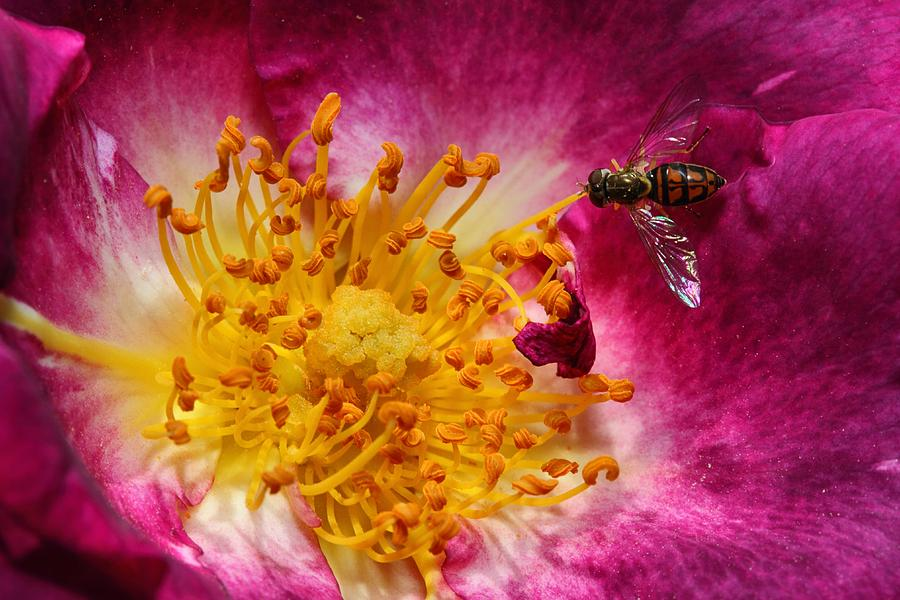 Hover Fly Photograph - Life by Mike Farslow