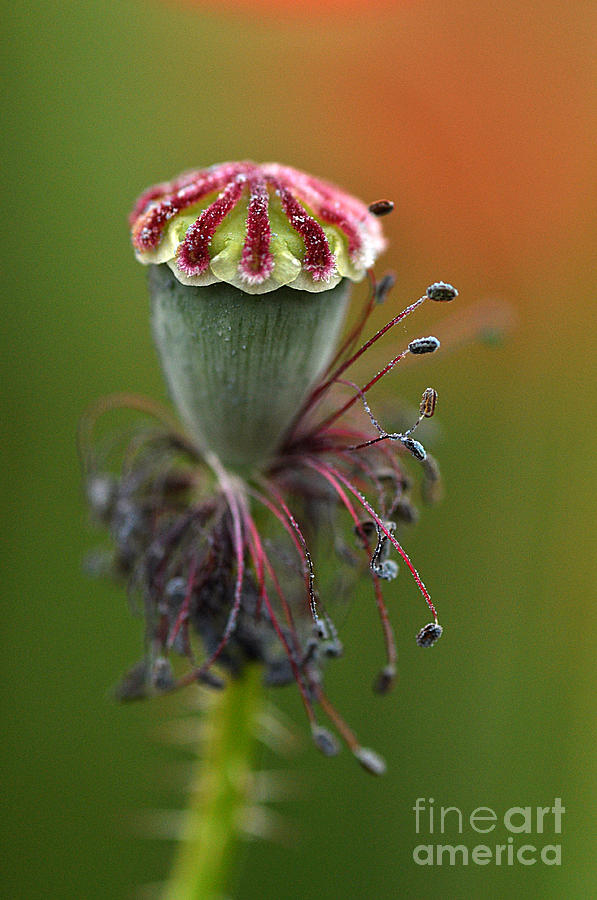Poppies Photograph - Lifes Fruit by Simona Ghidini