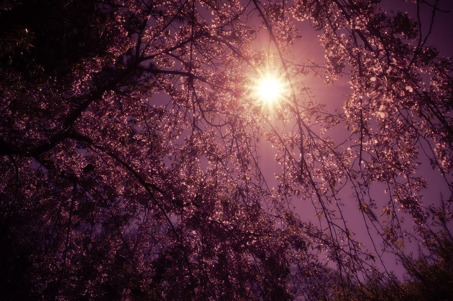 Nature Photograph - Light And Cherry Blossoms by Vivienne Gucwa