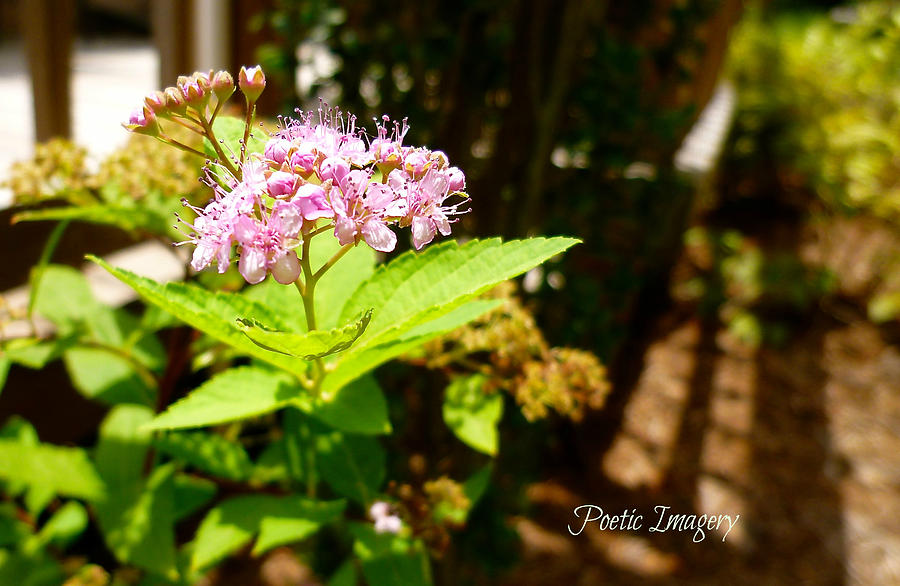 Spirea Photograph - Light And Shadow by Debbie Sikes