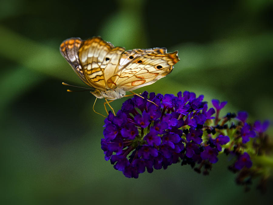 Anartia Jatrophae Photograph - Light Beneath My Wings  by Saija  Lehtonen