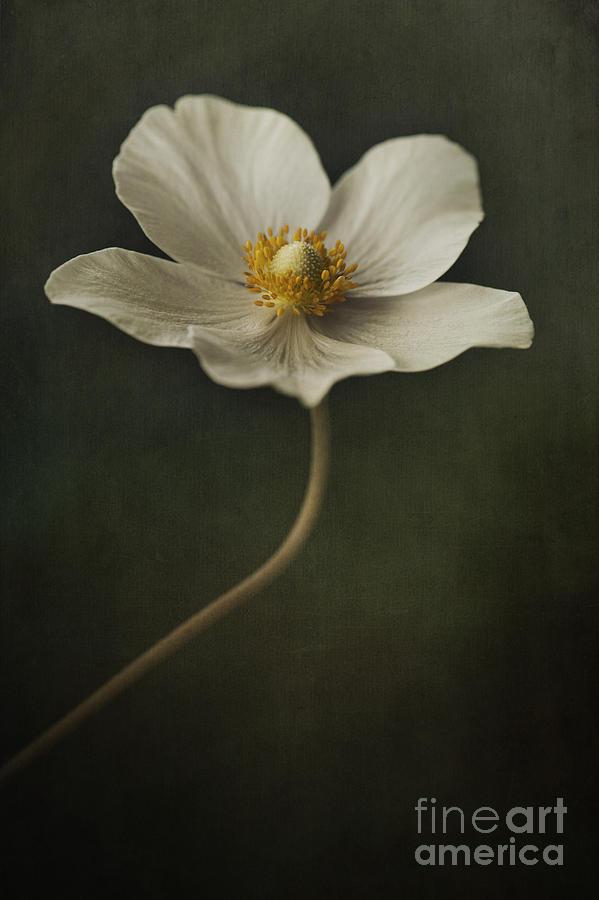Anemone Photograph - Light Dancer by Priska Wettstein