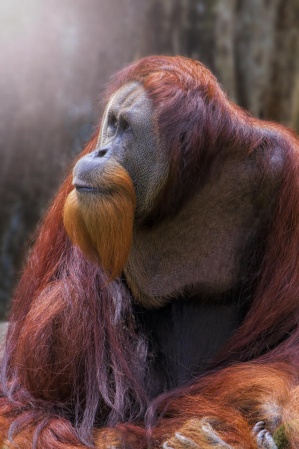 Orang Utan Photograph - Light From Above by David Gn