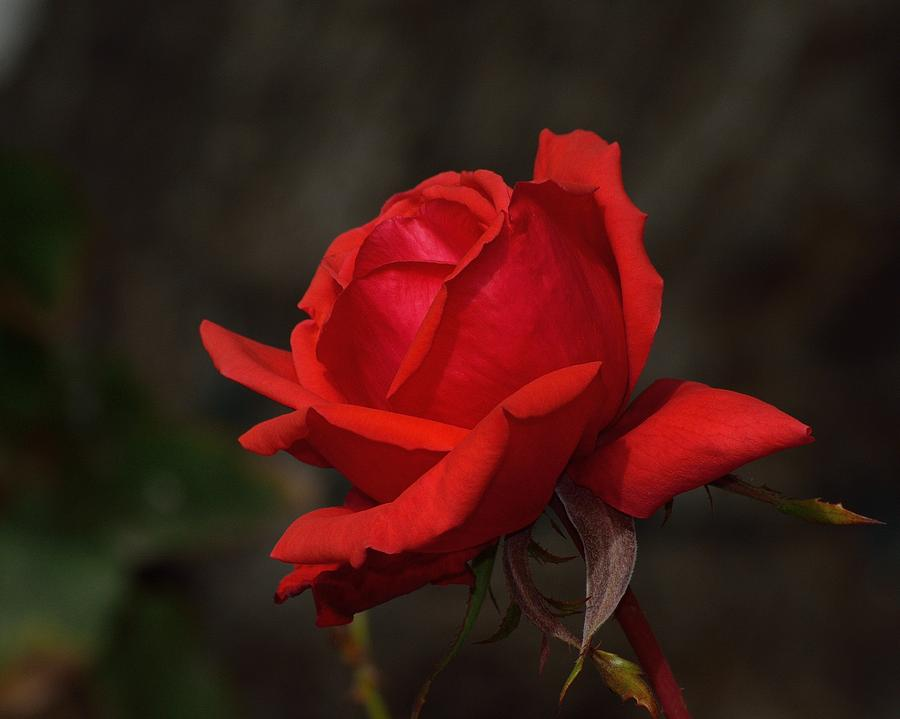 Red Rose Photograph - Light Into The Night by Old Pueblo Photography