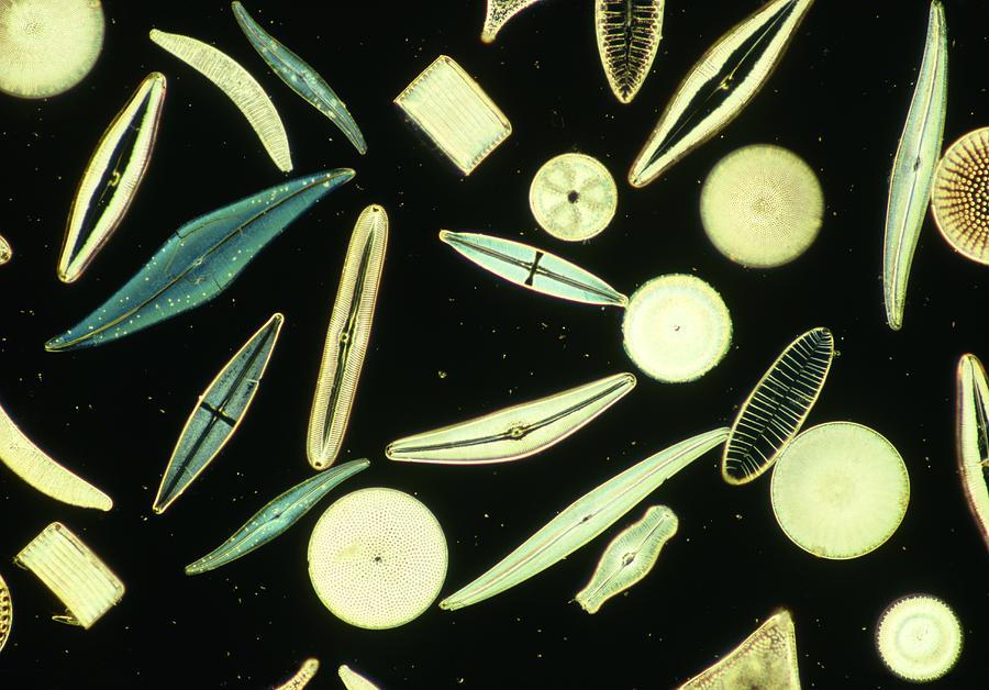 Nature Photograph - Light Micrograph Of Assorted Diatoms by Power And Syred
