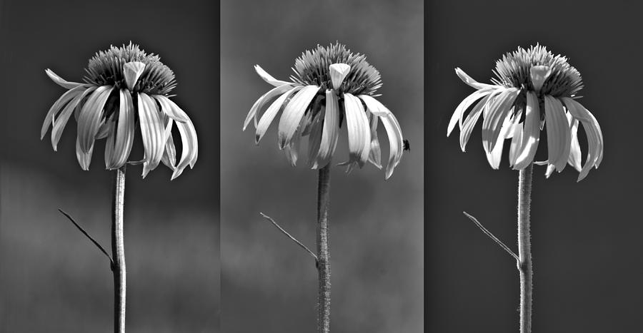 Coneflowers Photograph - Light Of Day In Black And White by Nikolyn McDonald