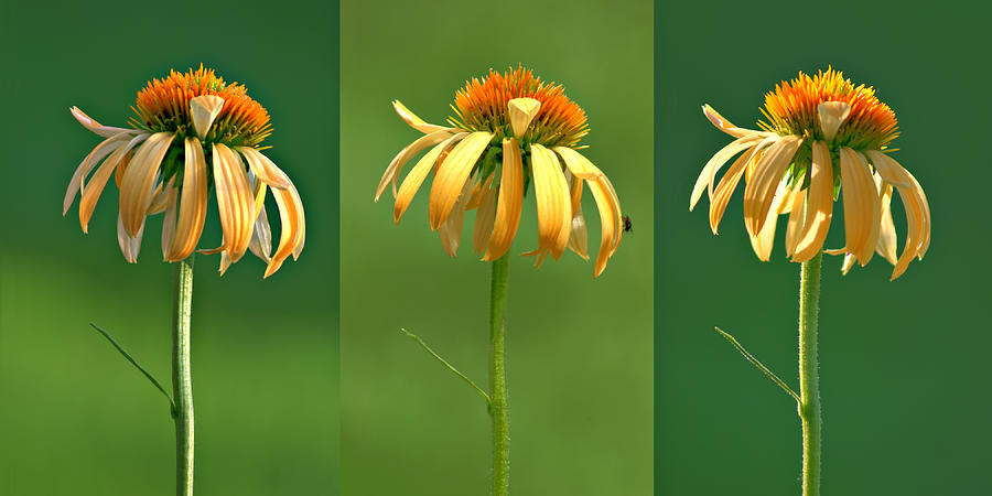 Echinacea Photograph - Light Of Day by Nikolyn McDonald