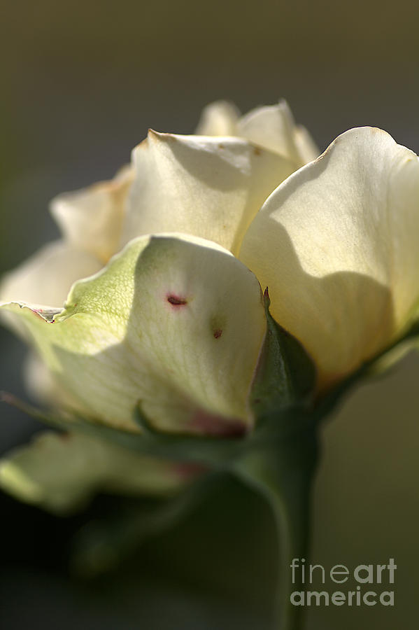 Yellow Rose Photograph - Light On My Face by Joy Watson