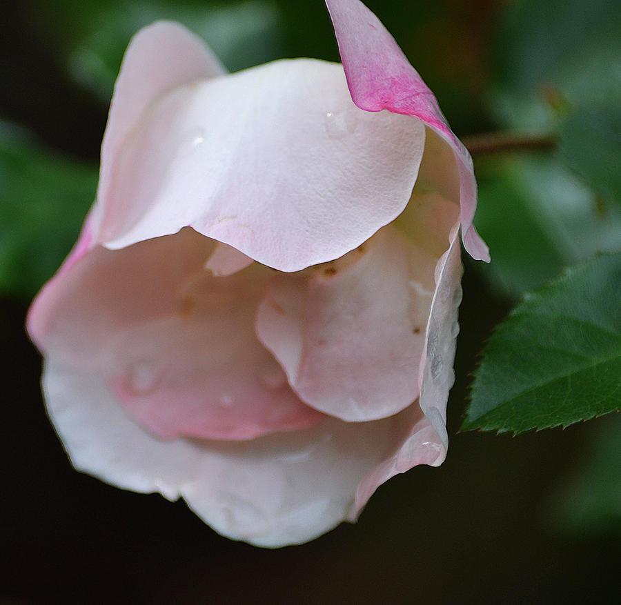 Roses Photograph - Light Pink by Joe Bledsoe