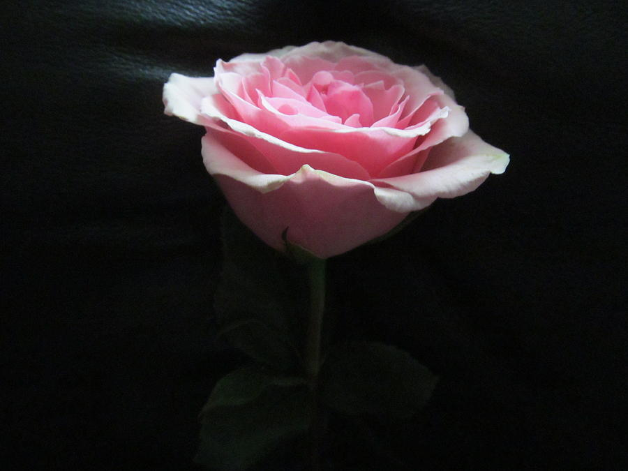 Light Pink Rose On Black Background Photograph By Tina M