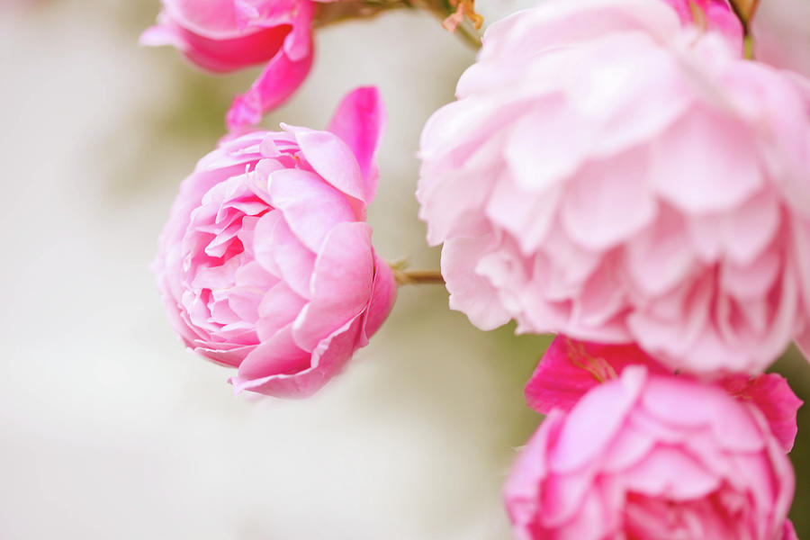 Light Pink Roses Photograph by Olivia Bell Photography