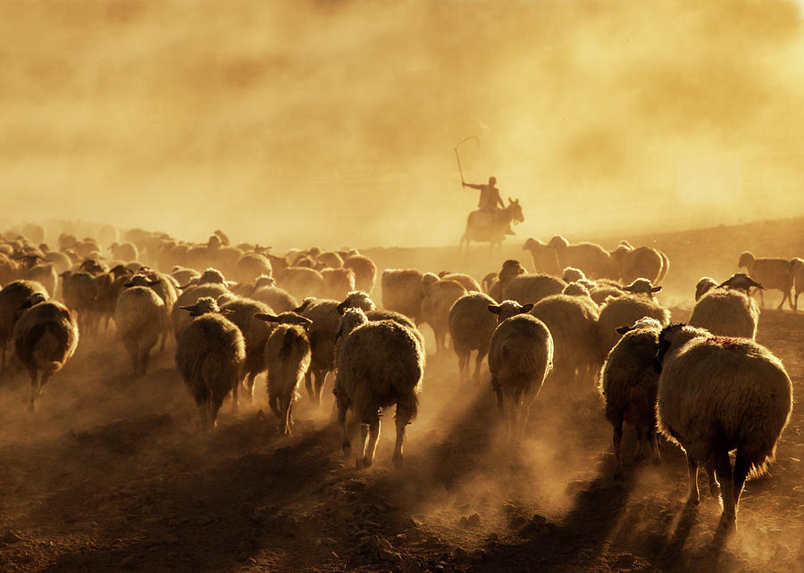 Sheep Photograph - Light Power by Feyzullah Tunc