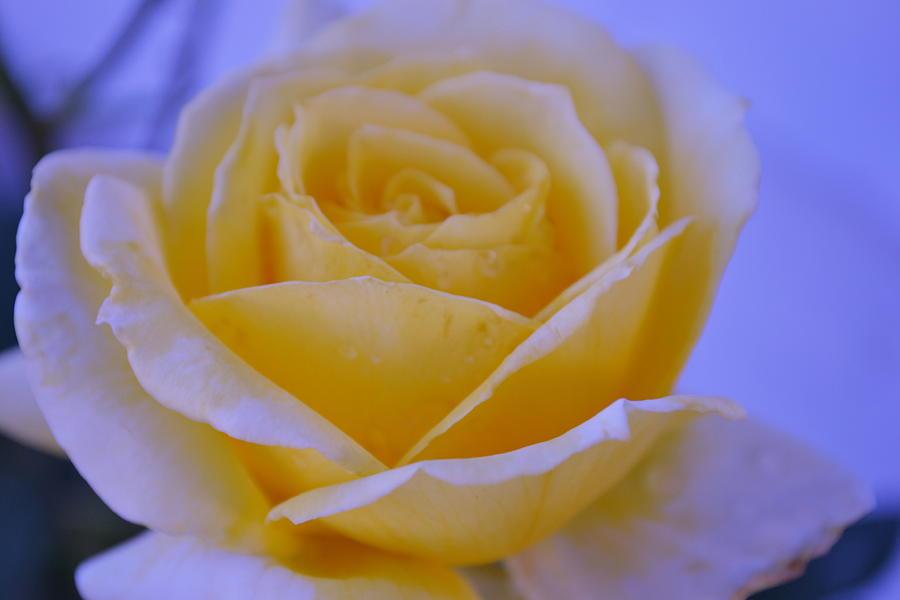 Light Photograph - Light Rose by Saifon Anaya