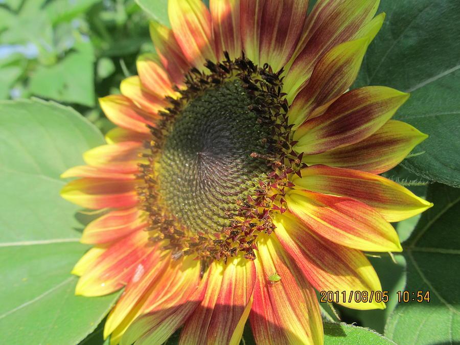 Sun Photograph - Light-shade Sunflower by Tina M Wenger