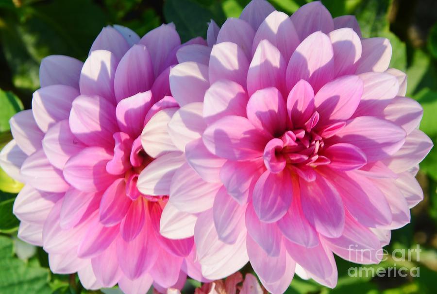 Dahlia Photograph - Light Shine by Kathleen Struckle