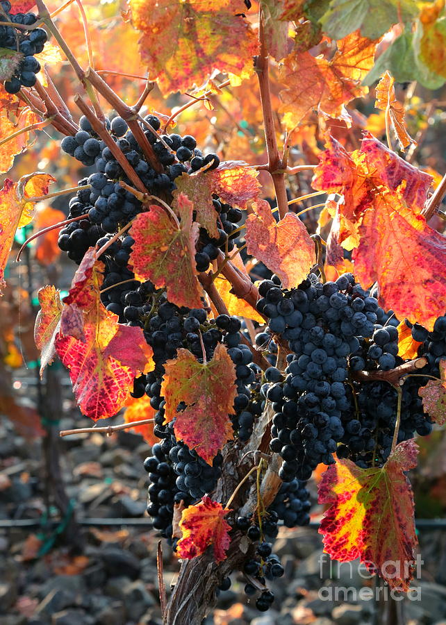 Grapes Photograph - Light Through Fall Vineyard by Carol Groenen