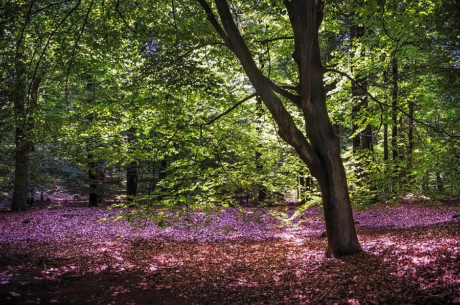 Netherlands Photograph - Light Tree In Hoge Veluwe National Park. Netherlands by Jenny Rainbow
