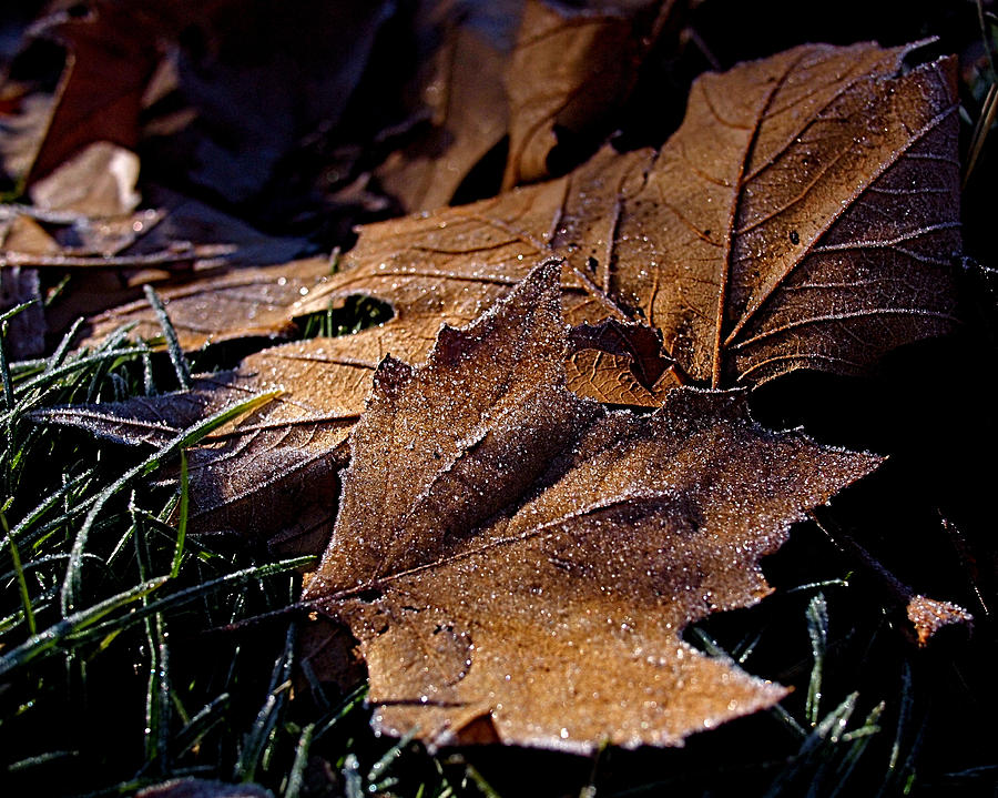 Leaves Photograph - Lightly Frosted by Rona Black