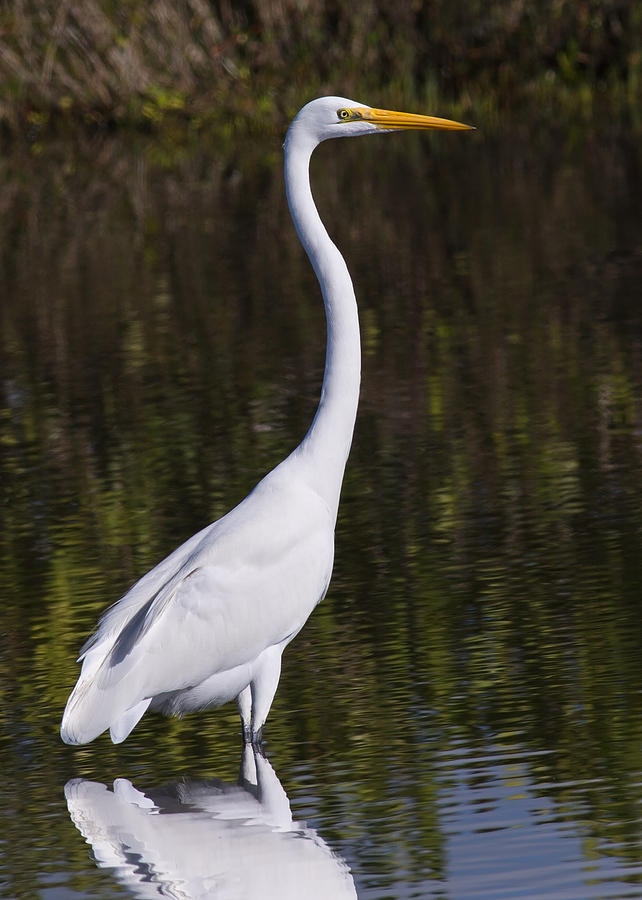 Birds Photograph - Like A Great Egret Monument by John M Bailey