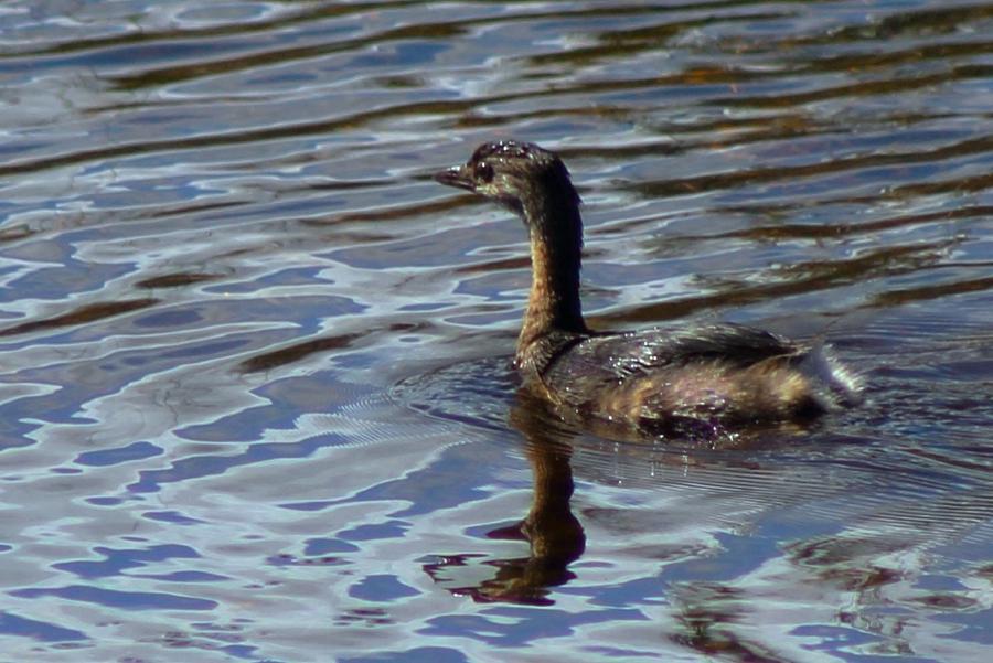 Duck Photograph - Lil Duck by Rhonda Humphreys