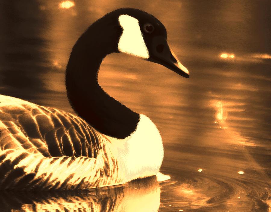 canada goose lila