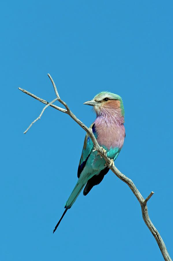 Africa Photograph - Lilac-breasted Roller by Tony Camacho