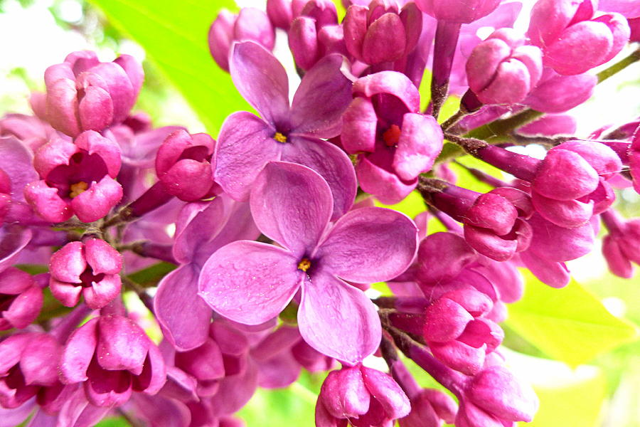 Lilac Photograph - Lilac Closeup by The Creative Minds Art and Photography