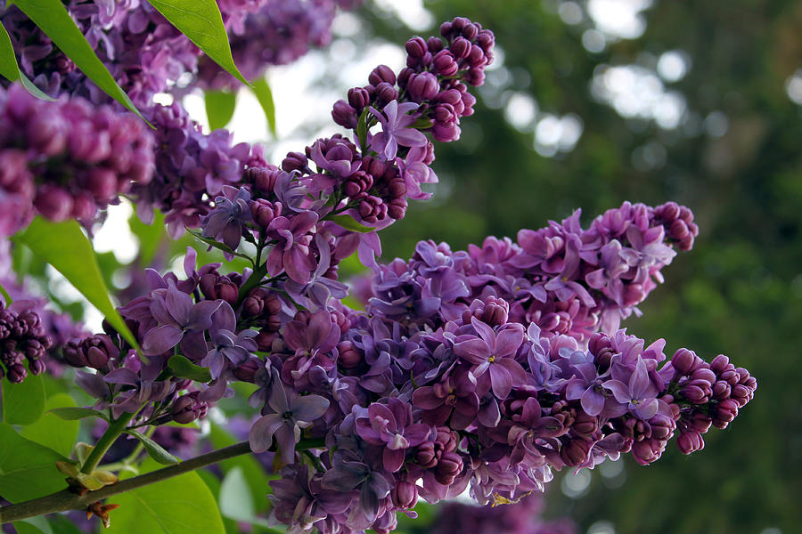 Lilac Photograph - Lilac  by Hanne Lore Koehler