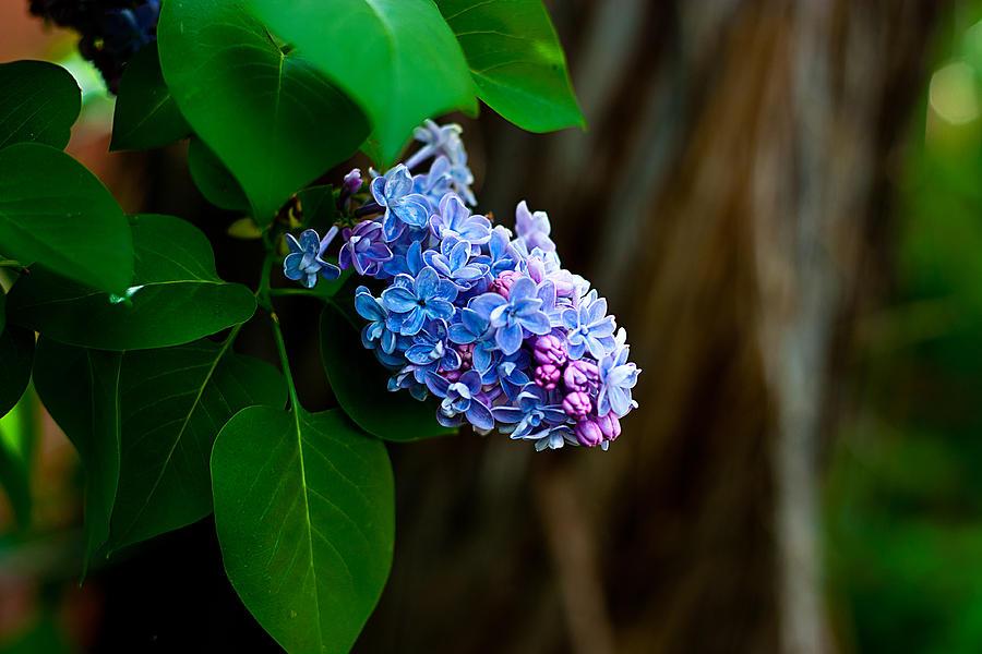 Lilac Photograph - Lilac by John Crowe