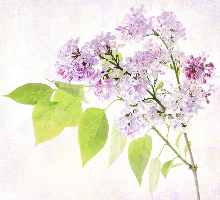 Lilac Photograph - Lilac by Julie Woodhouse