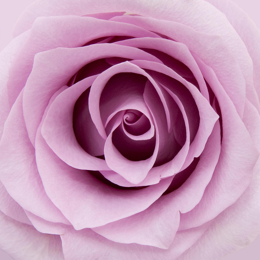 Rose Photograph - Lilac Rose by Gillian Dernie