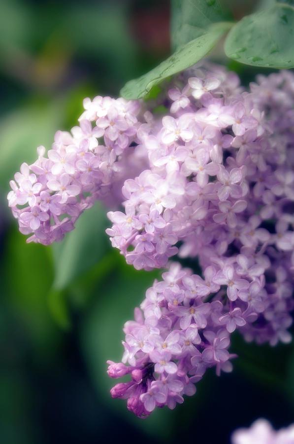 Lilac Photograph - Lilac (syringa Hybrid) by Maria Mosolova/science Photo Library