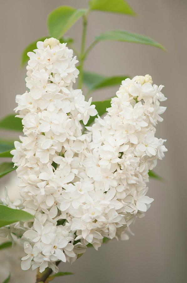 April Photograph - Lilac (syringa Vulgaris angel White) In Flower by Maria Mosolova/science Photo Library