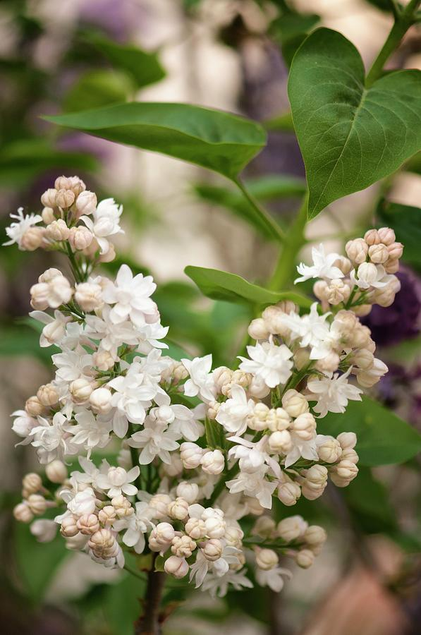 April Photograph - Lilac (syringa Vulgaris beauty Of Moscow) In Flower by Maria Mosolova/science Photo Library