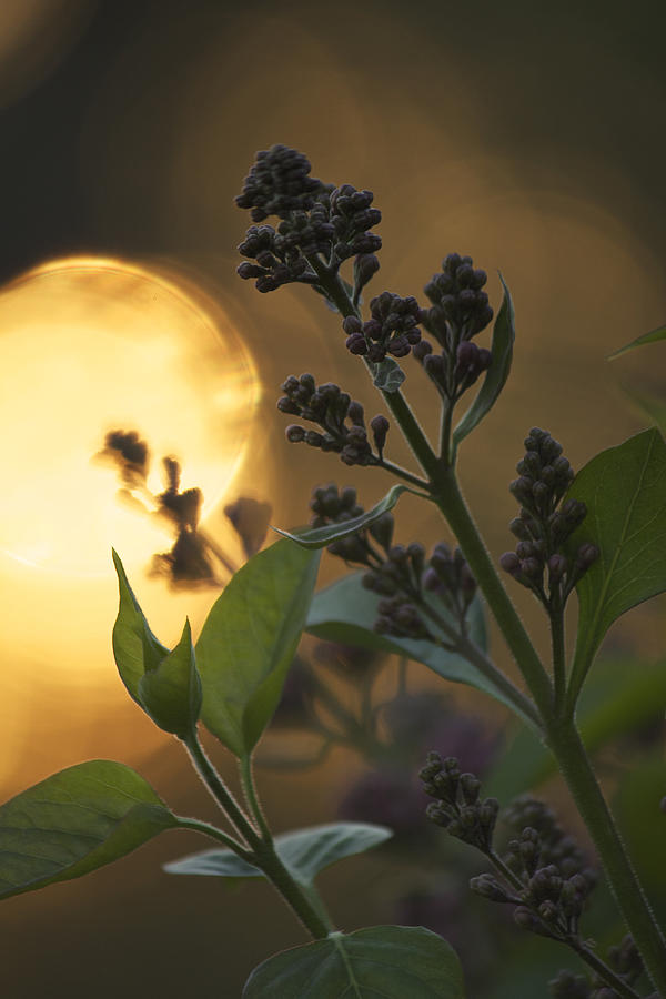 Lilacs Photograph - Lilacs At Sunset by Penny Meyers
