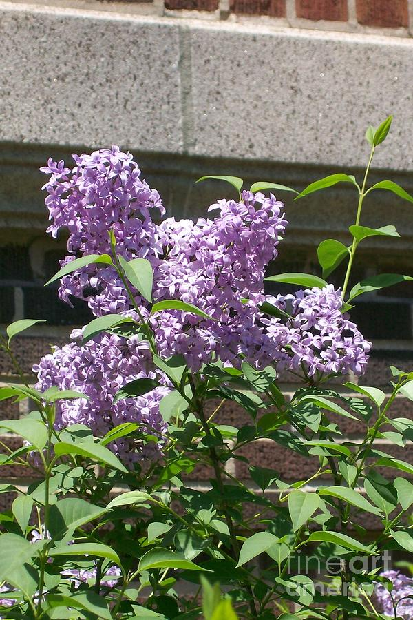 Lilac Photograph - Lilacs Up Against The Wall by Laurie Eve Loftin
