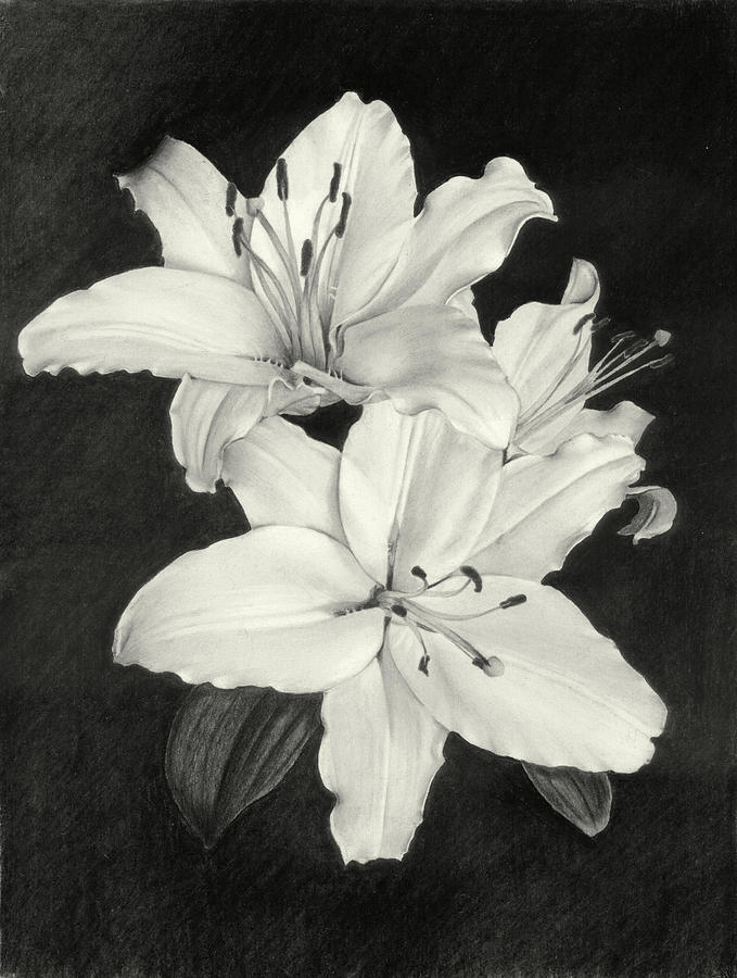 Lily Drawing - Lilies by Nicola Butt