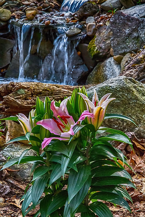 Lily Photograph - Lilies Of The Falls by John Haldane