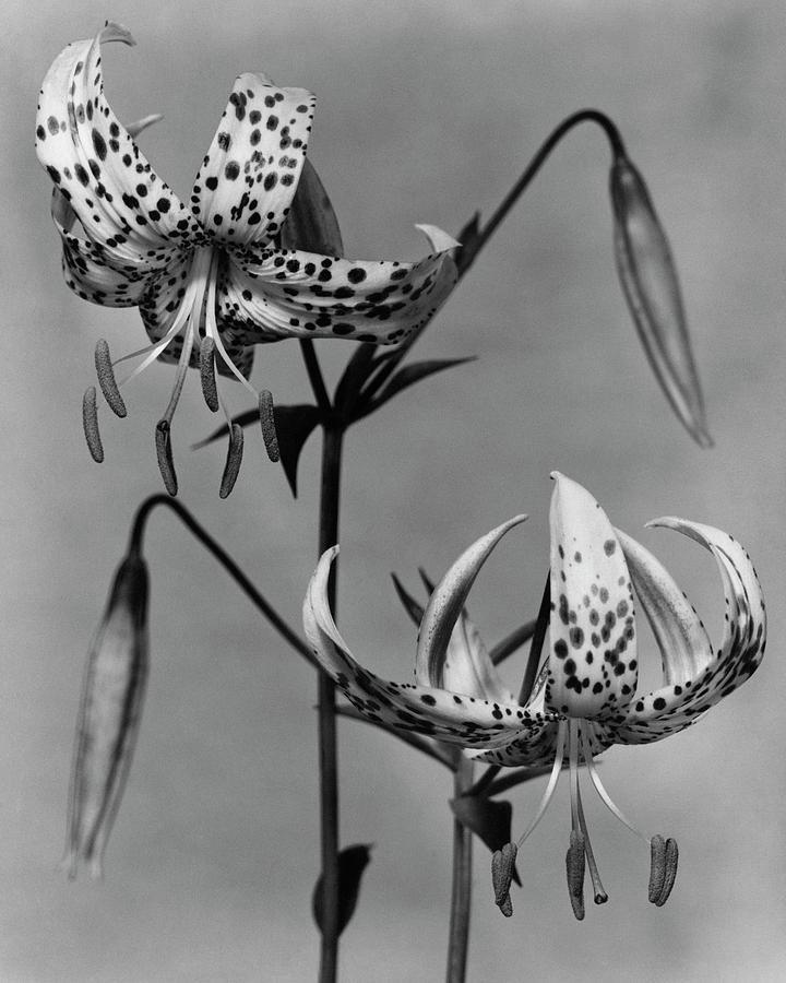 Lilium Bellingham Photograph by Herman V. Wall