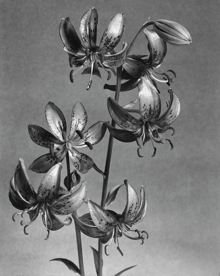 Lilium Hansonii Photograph by J. Horace McFarland