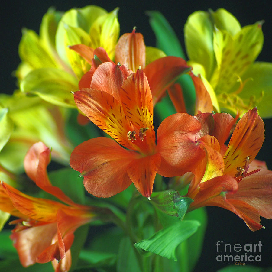 Flowers Photograph - Lillies Galore by Wobblymol Davis
