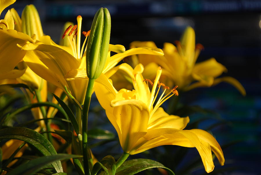 Lilly Photograph - Lillies Of Gold by Billie Colson