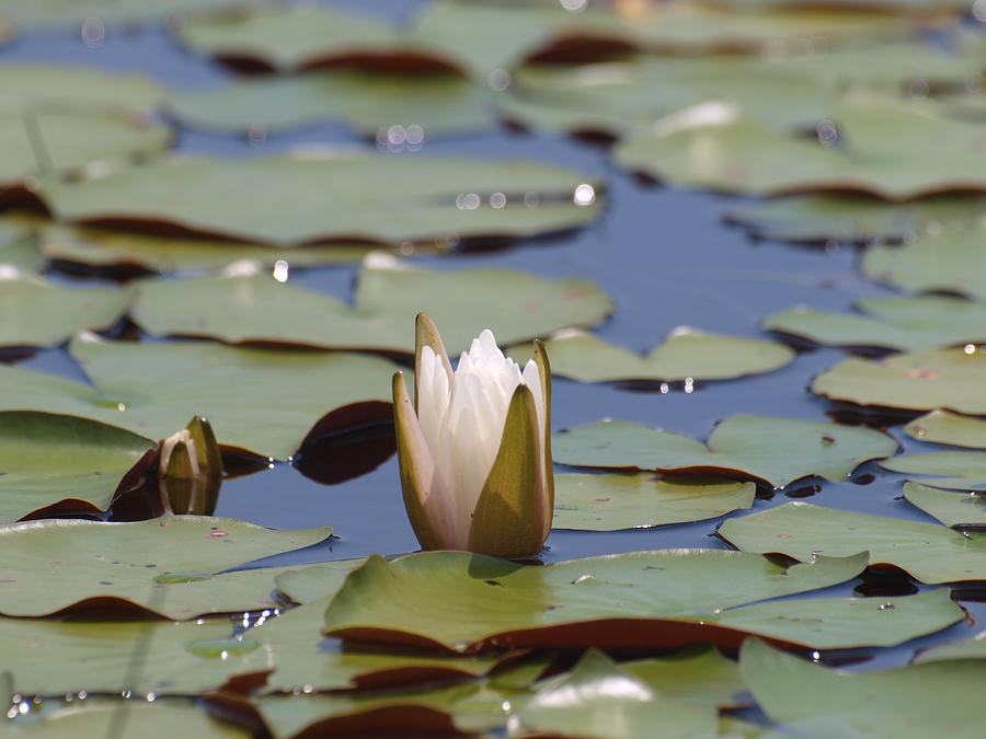 Pond Photograph - Lilly Pad With Bloom by Daralyn Spivey